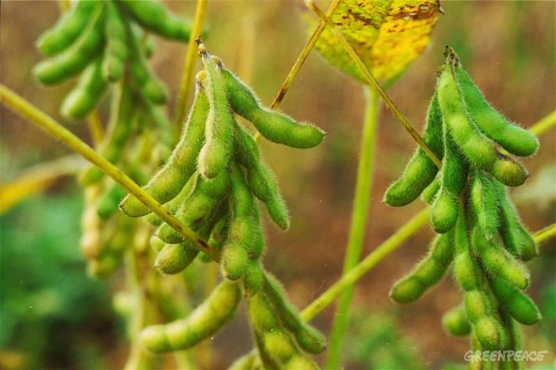 ripening-soya-beans-in-field-n