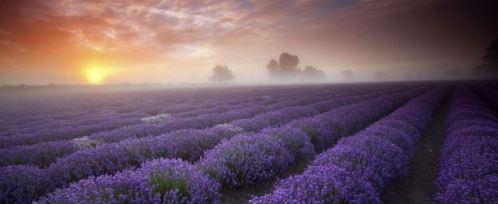 lavender fields 498