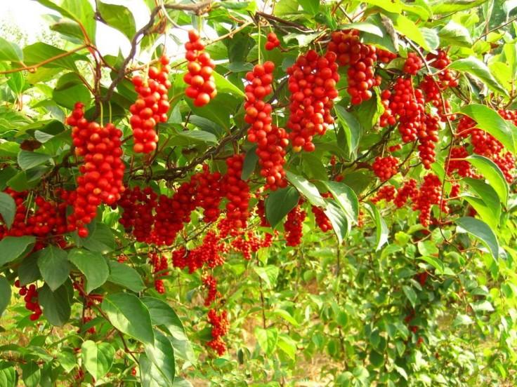 Schizandra chinensis