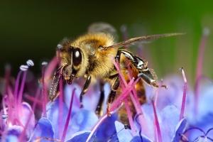 Honey_bee_on_blue_flower