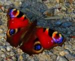 butt-European-Peacock-Butterfly-Photo-by-Claude@Munich