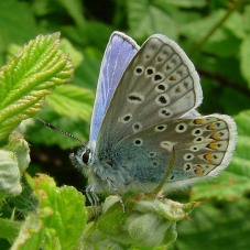 common-blue-butterfly-a