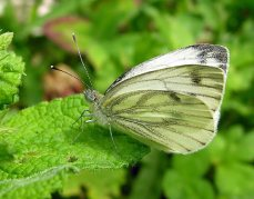 Green veined butterfly