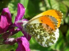 orange-tip-butterfly-3