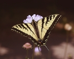 Tiger_Swallowtail_butterfly_GGP_SF