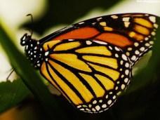 tortoise-shell-butterfly