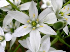 Star_of_Bethlehem3