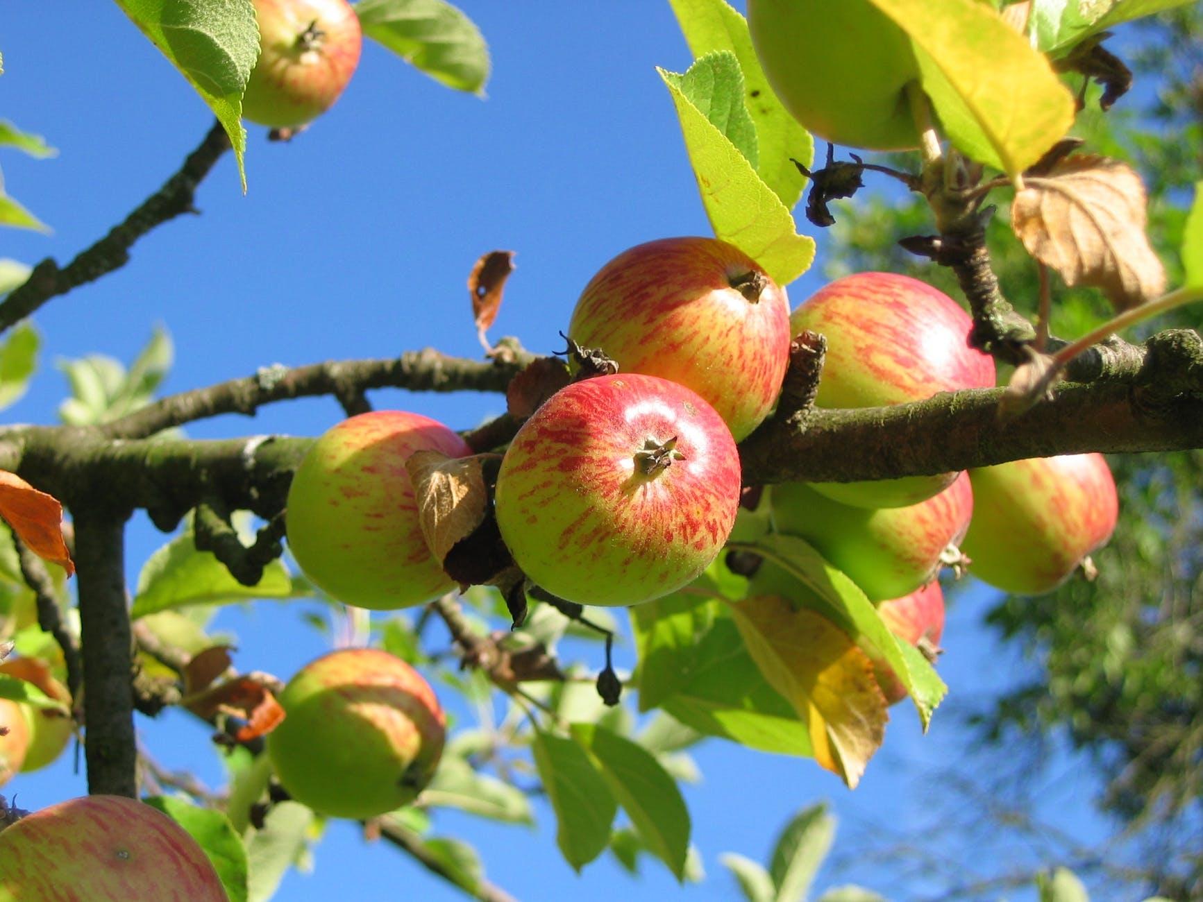 apple-tree-orchard-apfelernte-54629.jpeg