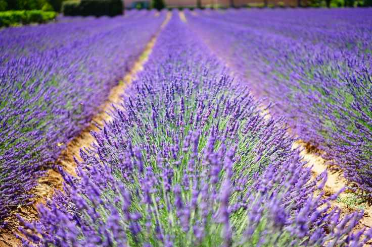 lavender-flowers-blue-flowers-purple-139396.jpeg